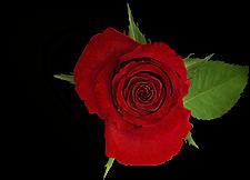 Rose Ferienwohnung Zum Rosengarten im Münsterland